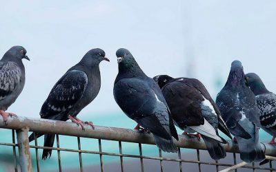 Controle de pombos – Como e quando ele deve ser feito?