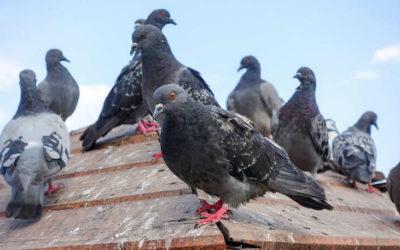 Como acabar com pombos: saiba como se livrar desse problema