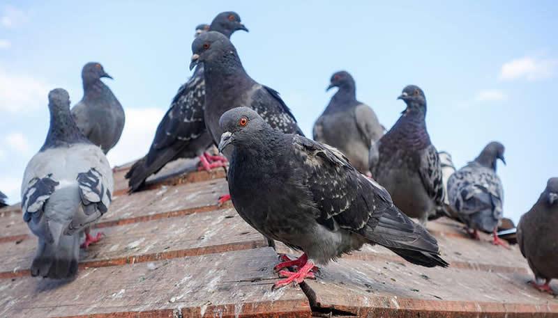 Como acabar com pombos