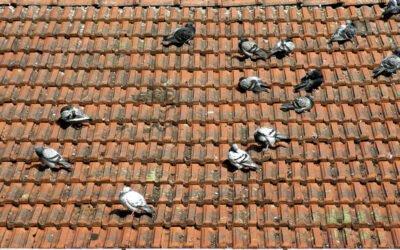 Como afastar pombos do telhado: confira essas dicas