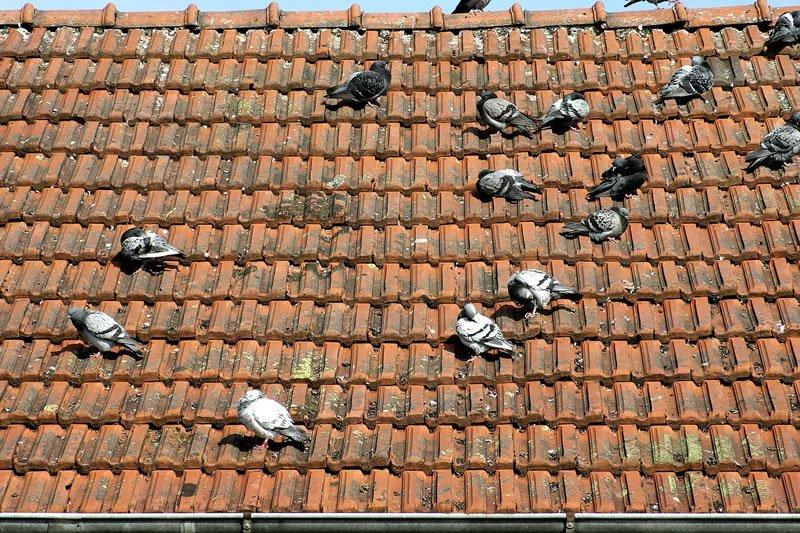 Como espantar pombos do telhado
