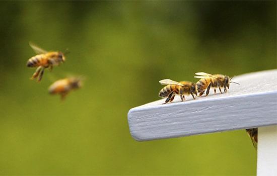 Controle de abelhas SP