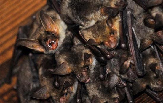 Controle de morcegos SP